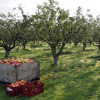 Free orchard management and harvesting training, in East Sussex