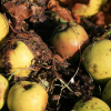 What was your apple harvest like? Add to the 2012 crop report here
