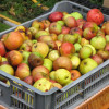 Turning surplus apples into cider