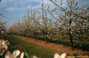 The Cider orchard in blossom - Photo credit NACM
